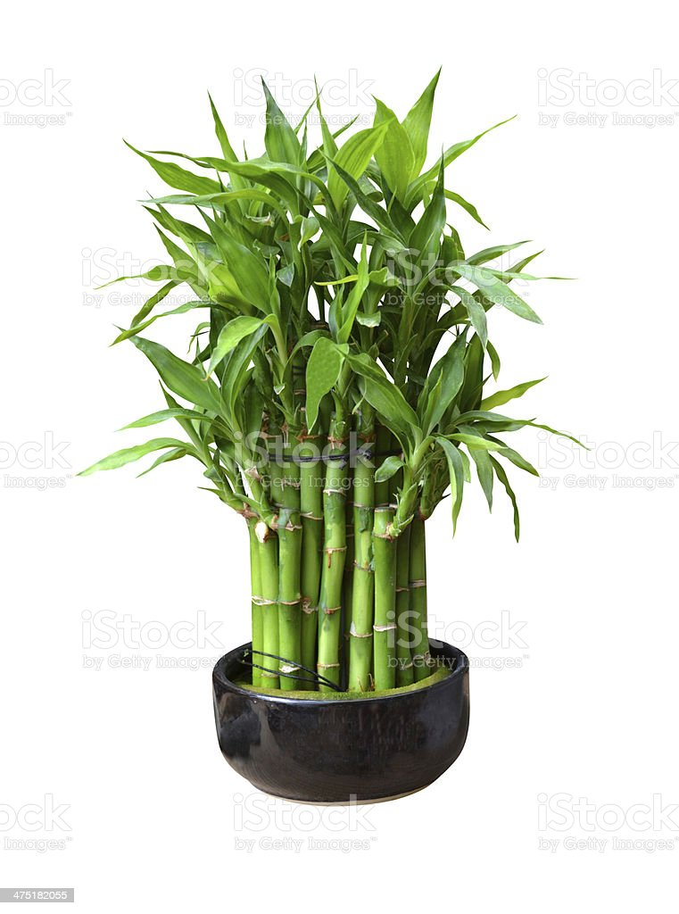 bamboo in a pot stock photo