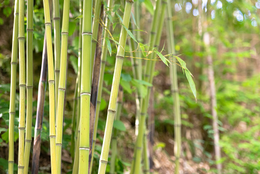 Bamboo in the mountains of Italy.