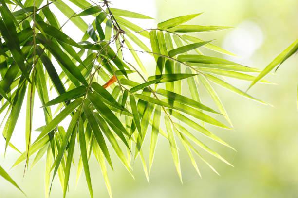 Bamboo leaf background stock photo