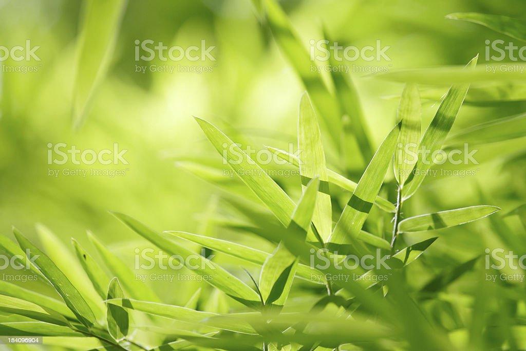 Bamboo leaf background royalty-free stock photo