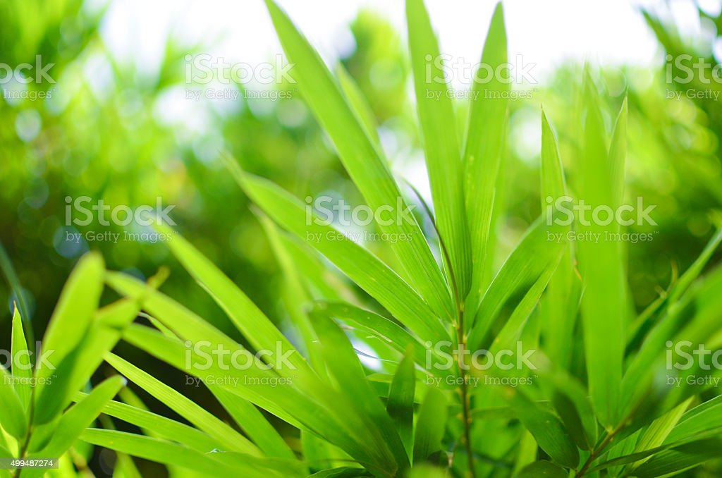 bamboo leaf background stock photo
