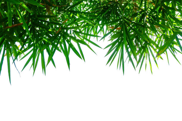 feuille de bambou isolé sur blanc - Photo