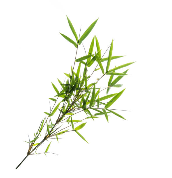 Bamboo leaf with clipping path isolated on white stock photo
