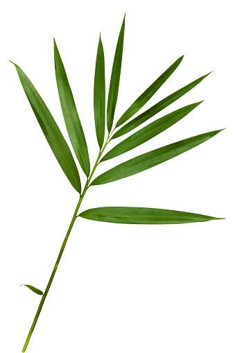 Fresh bamboo leaf isolated on a white background; the file contains a clipping path that can easily make a selection and use the leaf separately as a design element.