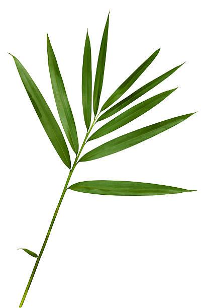 Feuille de bambou avec un Tracé de détourage isolé sur blanc - Photo
