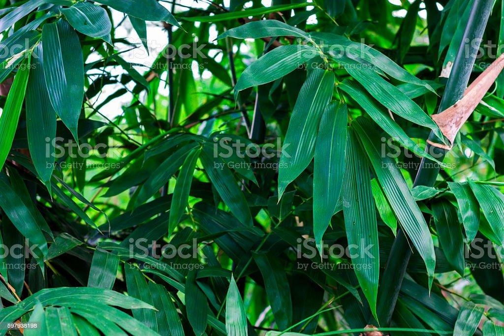 Fundo de folhas de bambu. foto royalty-free