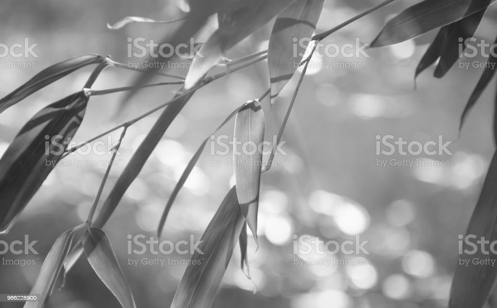 Bamboo leaves in black and white stock photo