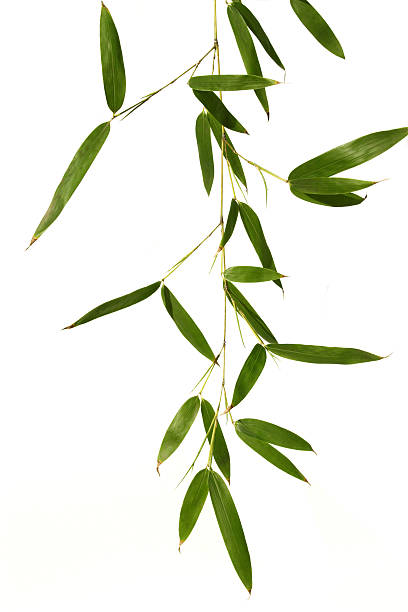 Bamboo leaves isolated in white stock photo