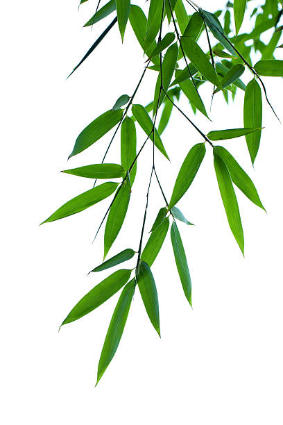 Bamboo leaves isolated on white background圖像檔