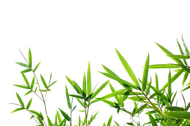 Bambus-Blätter Isoliert – Foto