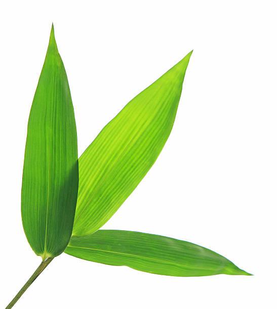Bambus-Blätter, isoliert auf weißem Hintergrund – Foto