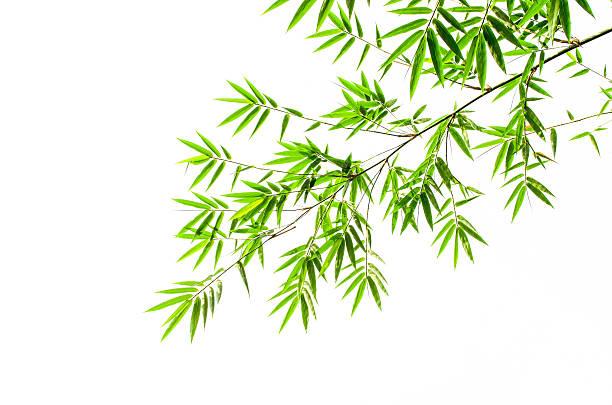 Bambus-Blätter auf weißem Hintergrund – Foto