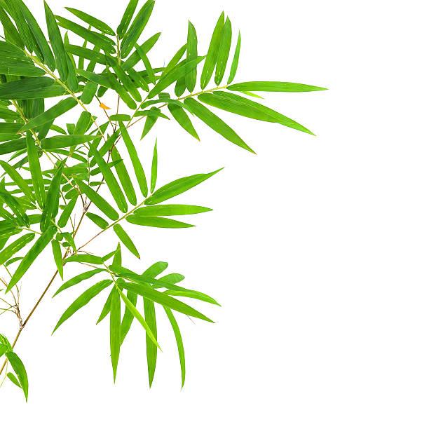 Bambus-Blätter – Foto