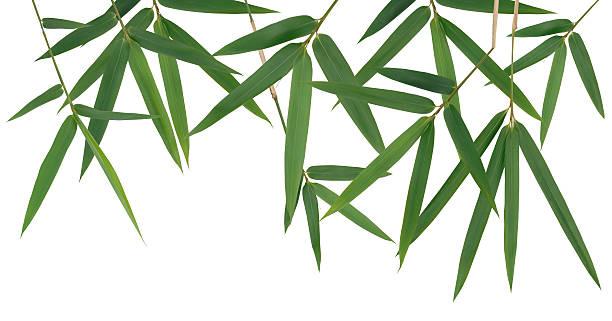 Feuilles de bambou - Photo