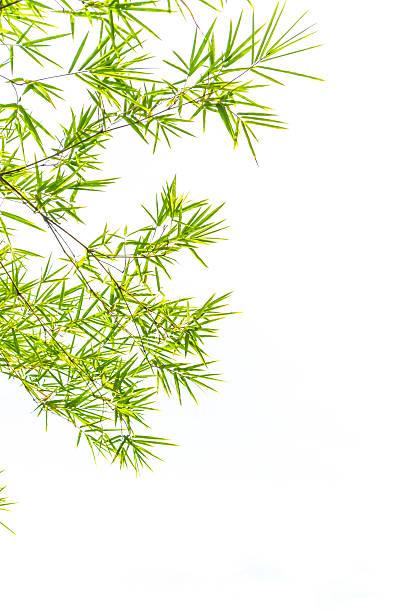 Bambus-Blätter. – Foto