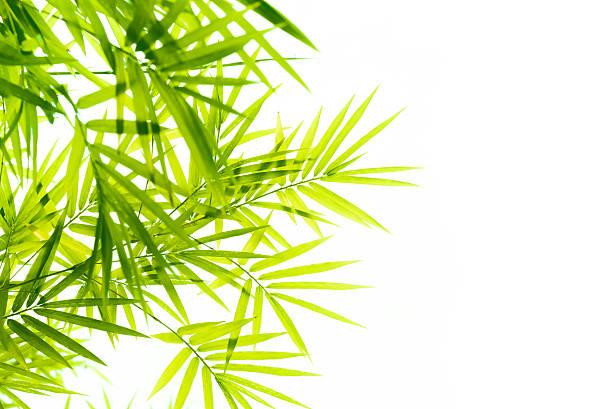 Hojas de bambú  - foto de stock