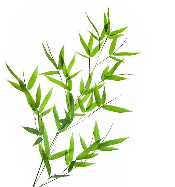 bamboo- Blätter – Foto