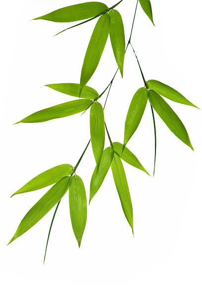 bamboo- feuilles - Photo