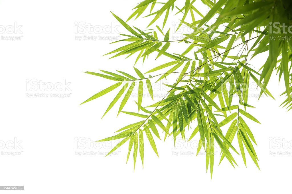 Bamboo leaves,Isolated on white background, stock photo