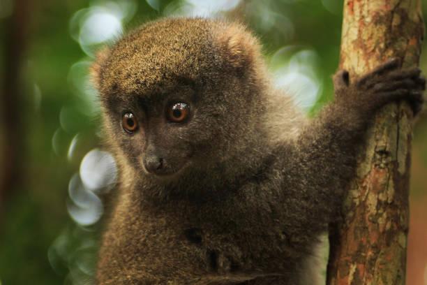 bambu lemurer på madagaskar - lemur bildbanksfoton och bilder