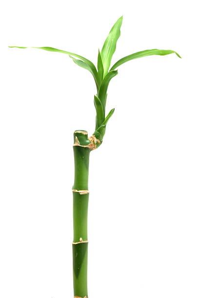 Bambus auf Weiß – Foto