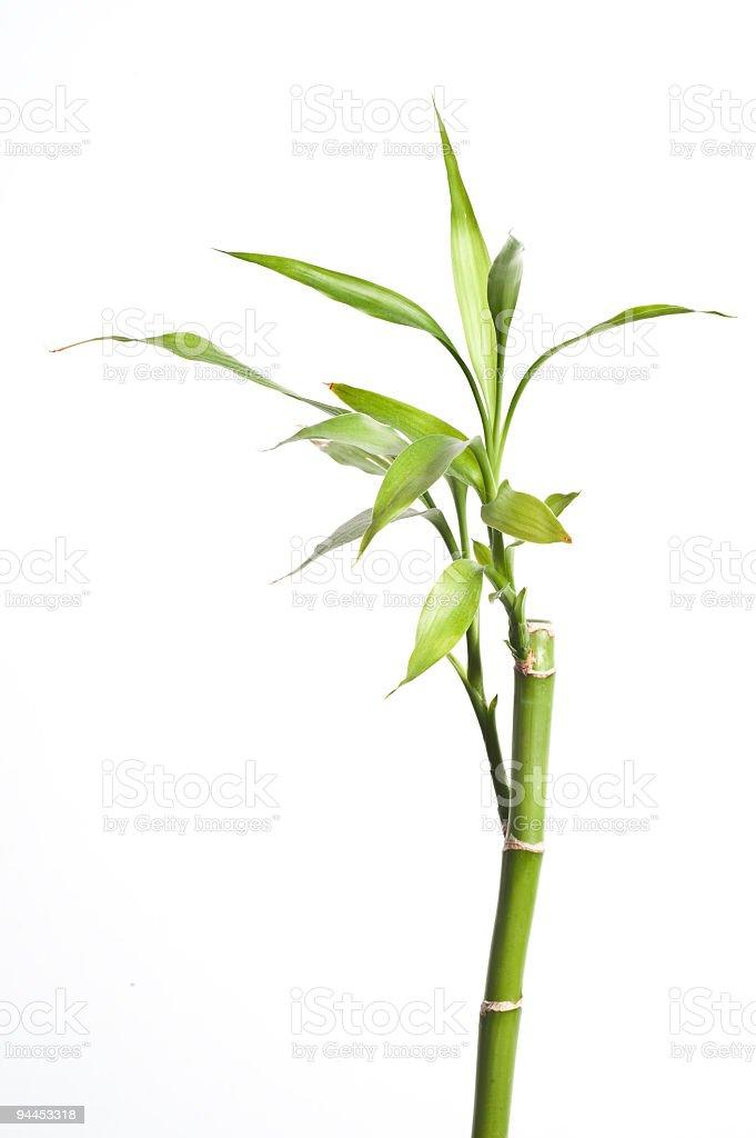 Bamboo on White stock photo