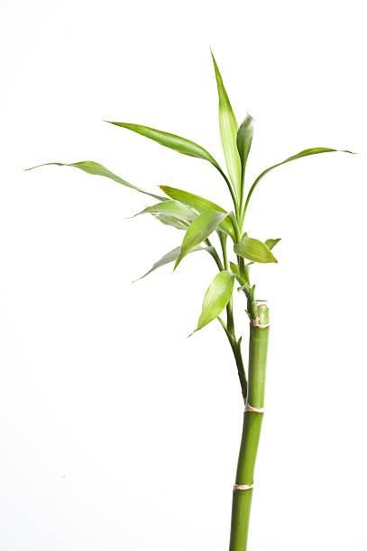 Bambou sur blanc - Photo