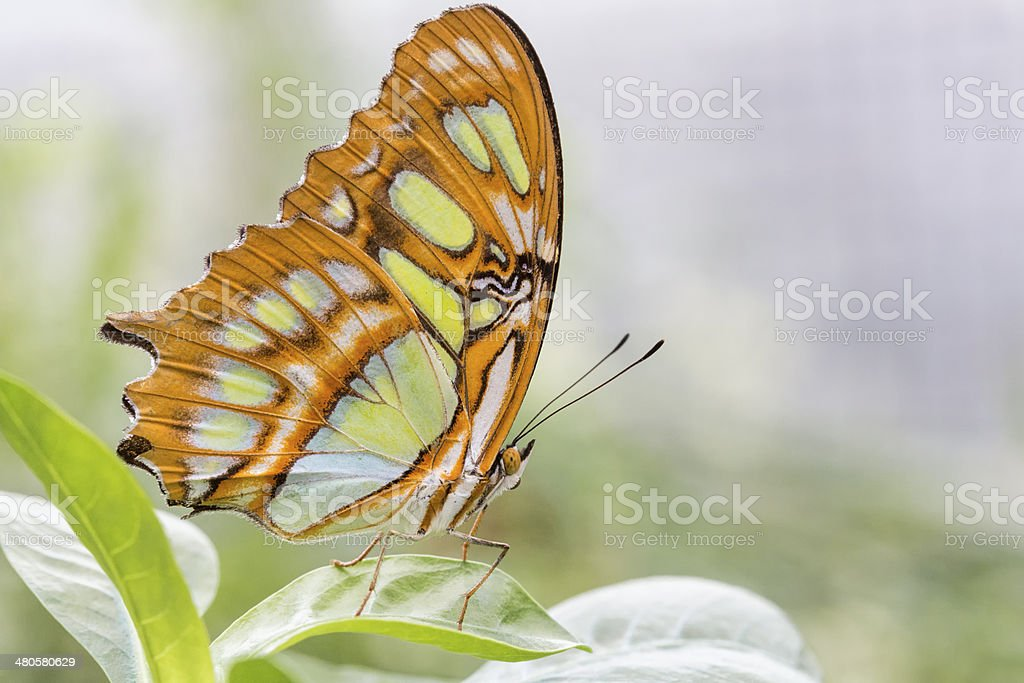 Bamboo Page or Dido Longwing butterfly stock photo