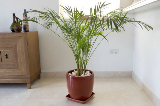 Bamboo Palm Growing in a Pot - Decorative Indoor Plant stock photo