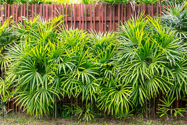 bamboo palm or lady palm with wooden fence background - bambushecke stock-fotos und bilder