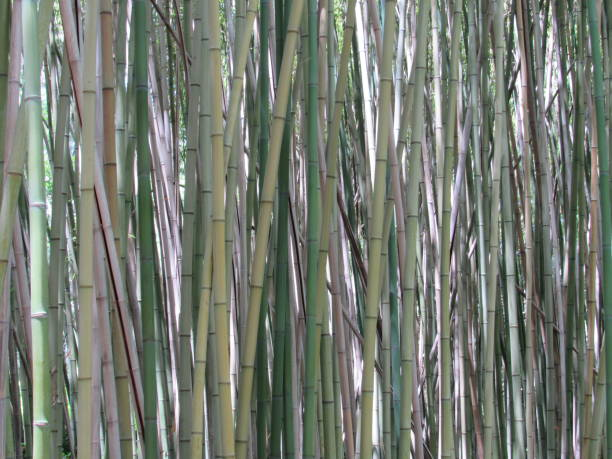 bamboo - dianna dann narciso stock pictures, royalty-free photos & images