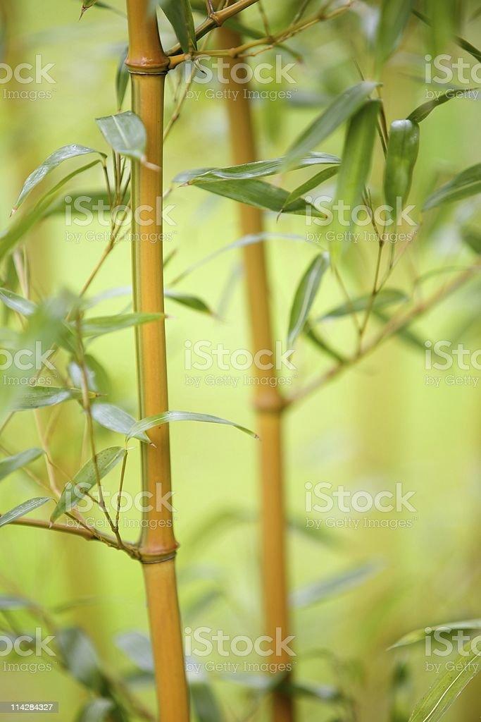 Bamboo... royalty-free stock photo