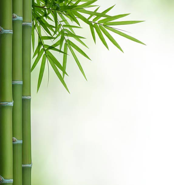 Bambus – Foto