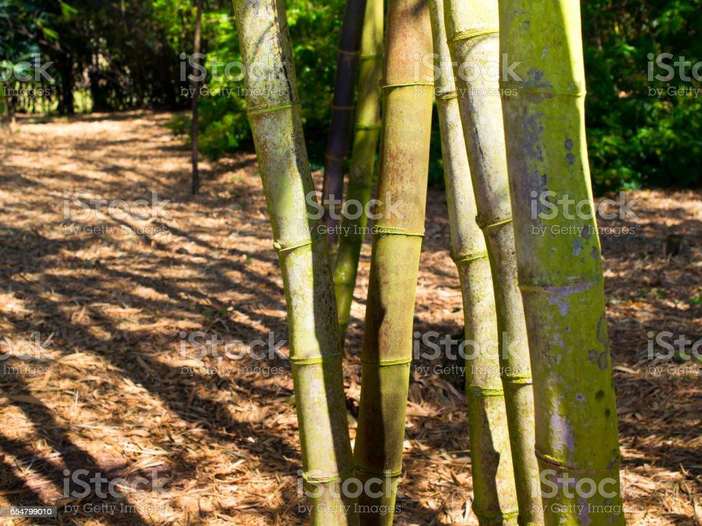 Bamboo. - foto de acervo