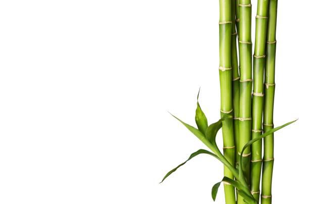 Bambú. - foto de stock
