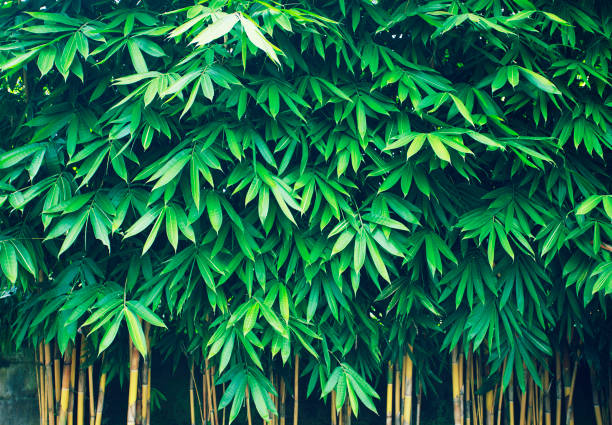 bamboo - bamboo stock photos and pictures