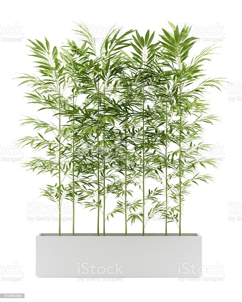 bamboo plant in pot isolated on white background stock photo