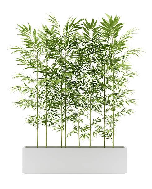 Bambou en pot isolé sur fond blanc - Photo