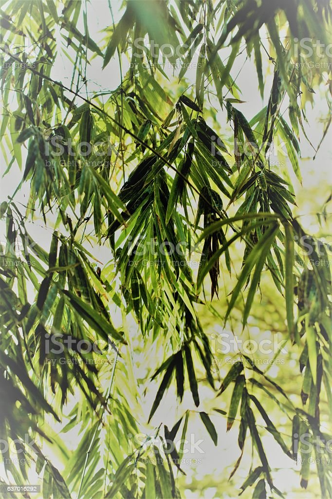 Bamboo plant leaves and branches nature background stock photo