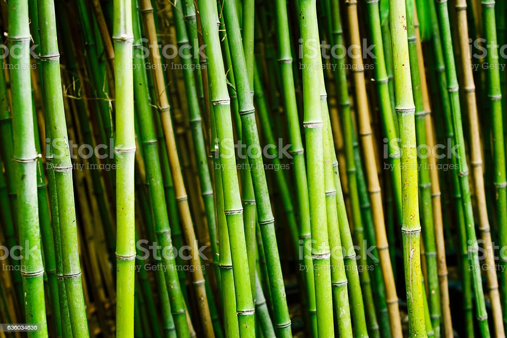 Bamboo plants in garden stock photo