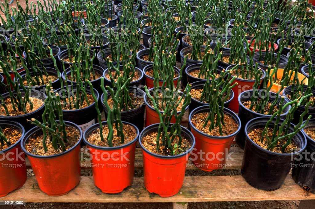 Bamboo Plants In Pots Stock Photo Download Image Now Istock