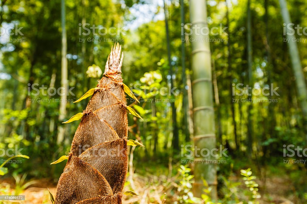 bamboo shoots of the growth in the forest stock photo