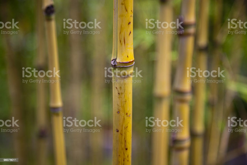 Bamboo shoots royalty-free stock photo