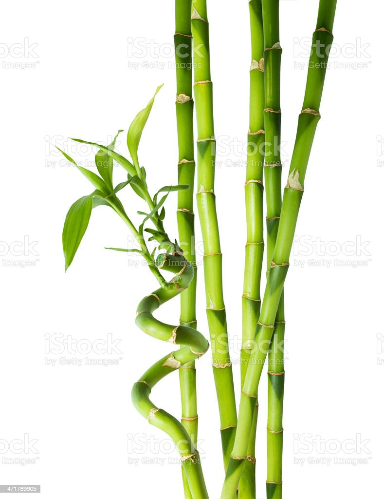 Bamboo stalks bamboo forest bamboo stalks peperomia for Grosse tige de bambou