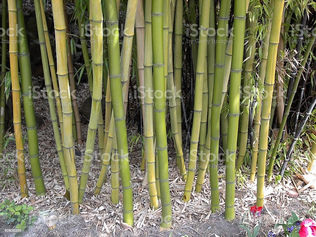 Bamboo Stalks royalty-free stock photo