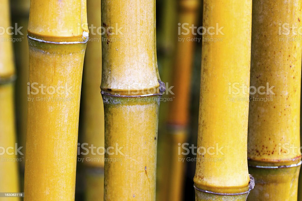 Bamboo stems in the forest royalty-free stock photo