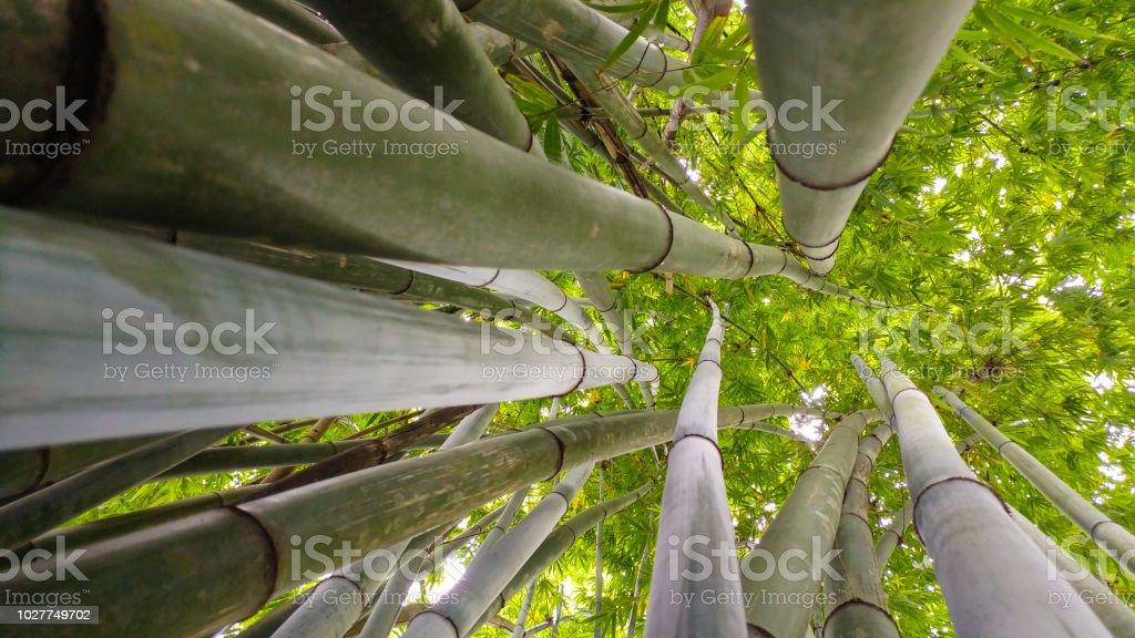 Bamboo tree - Pé de bambu stock photo
