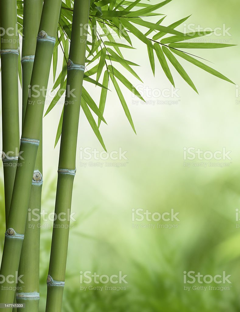 bamboo tree with leaves stock photo