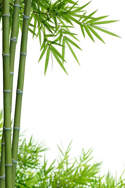 Bambou à feuilles - Photo