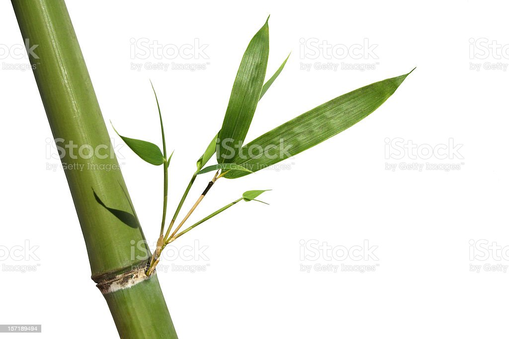 bamboo with perfect new shoots stock photo